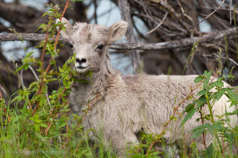 A young bighorn sheep in Banff National Park.