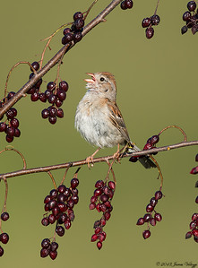Field Sparrow, Spizella pusilla
