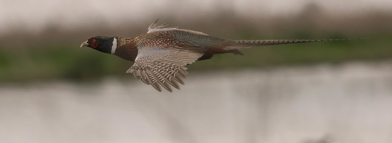 Flight of the Pheasant
