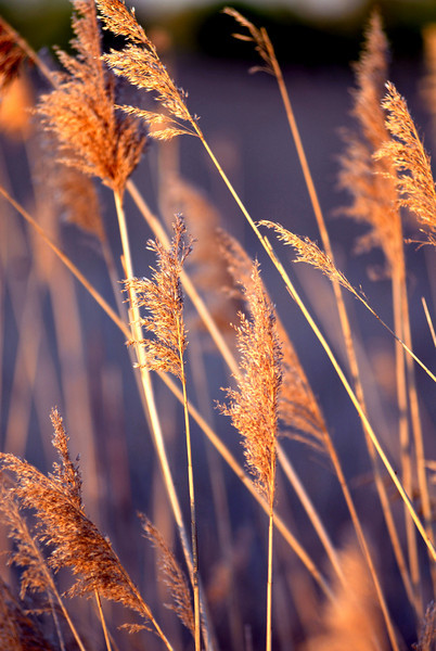 grass in the wind.jpg