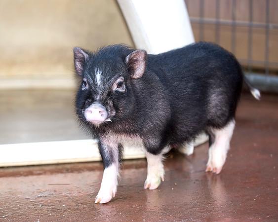 Middleburg Humane Dogs/Pig 2-20-18