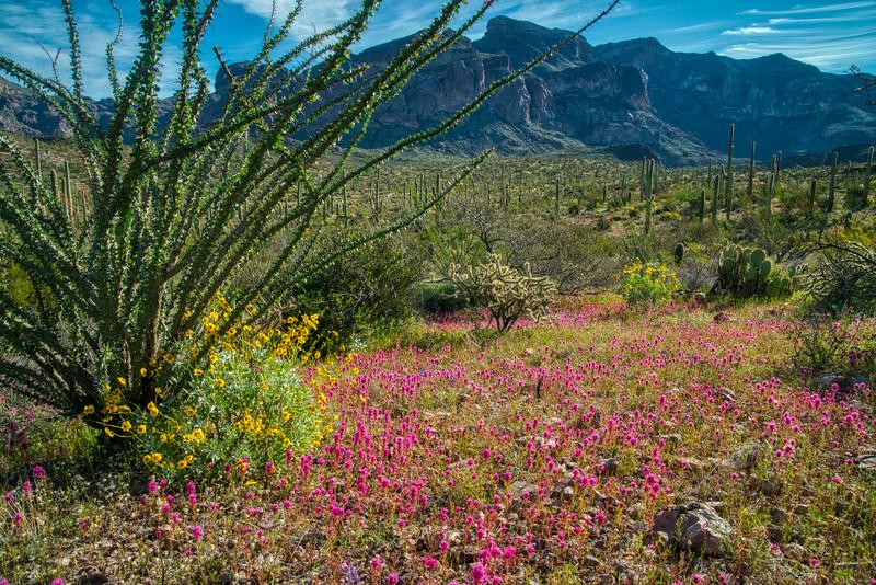Organ Pipe Cactus 2020-19.jpg