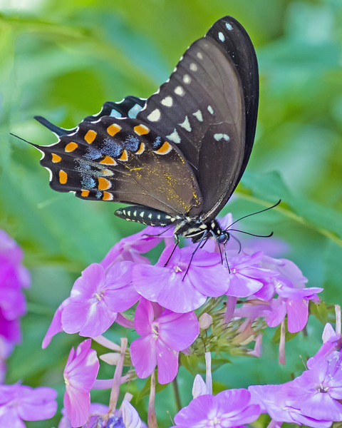 Black Swallowtail on Phlox