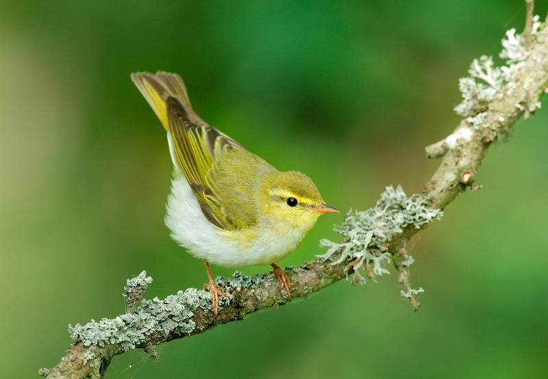 Wood warbler , Grönsångare