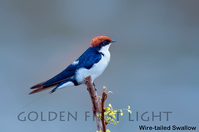 Wire-tailed Swallow, Kenya
