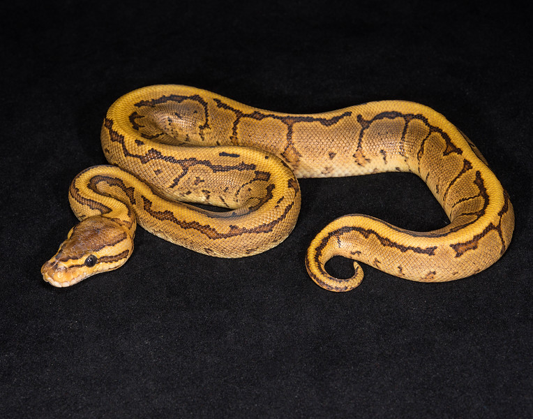145MPIN, male pinstripe (possible Fire), $50, hold for Kira G.