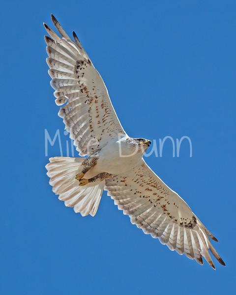 Ferruginous Hawk-166