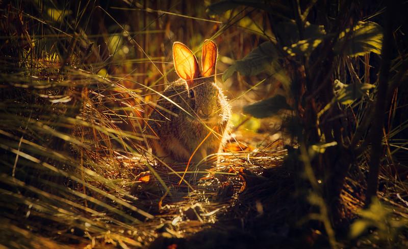 Florida Marsh Rabbit - 4.jpg