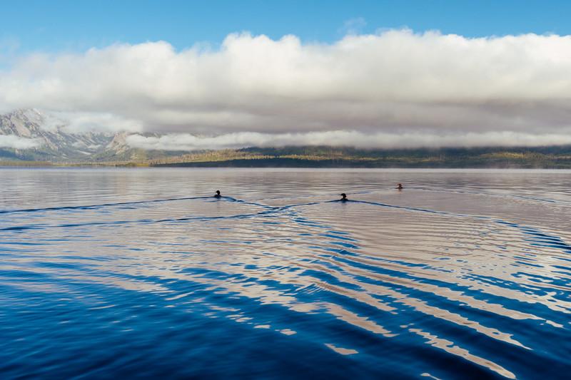 Mergansers on Jackson Lake as morning clouds lift, Grand Teton National Park
