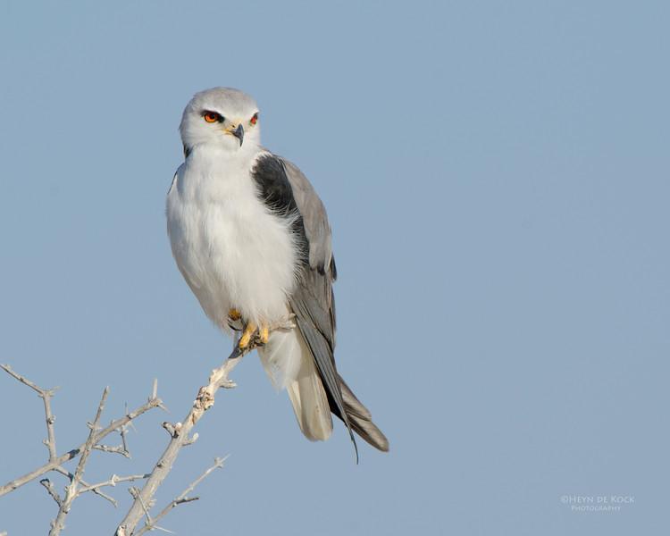 Black-winged Kite, Etosha NP, Namibia, July 2011.jpg