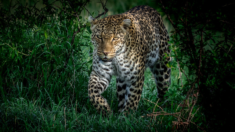 Leopards-0109.jpg