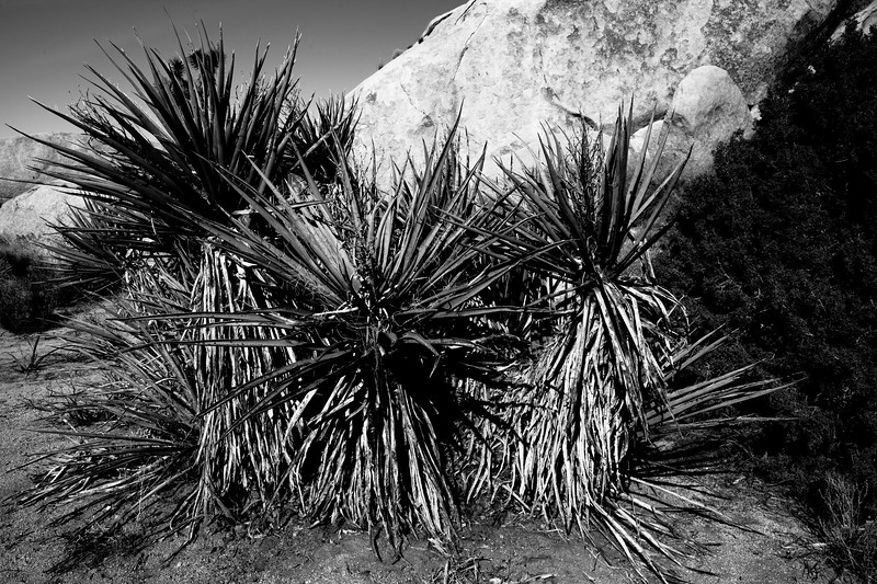 Yucca & boulders. Joshua Tree National Park