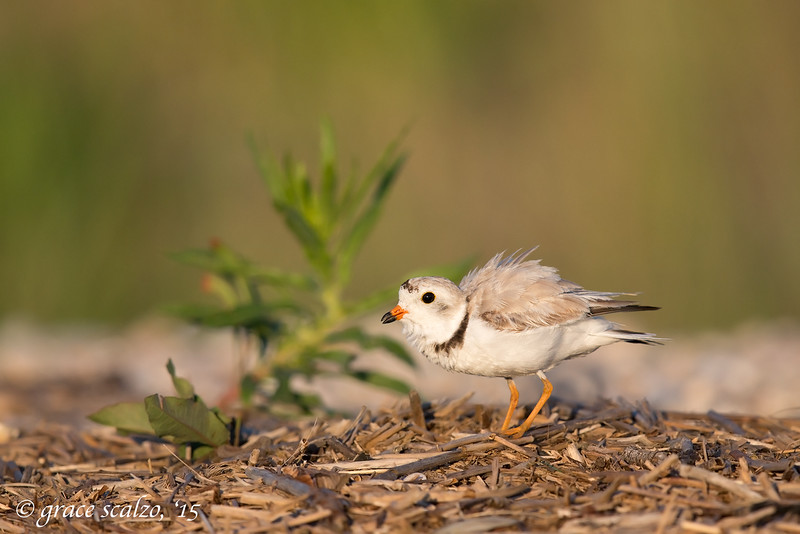 Piping Plover posturing