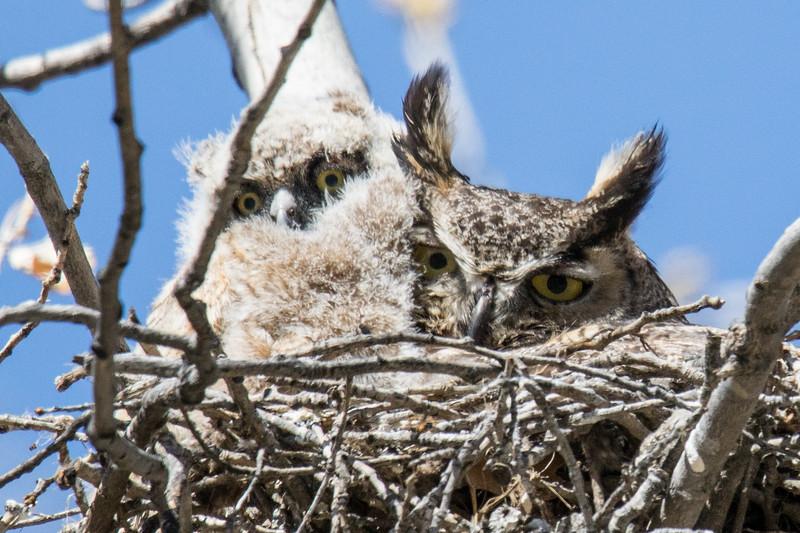 Great Horned Owls Spring 2019-2.jpg