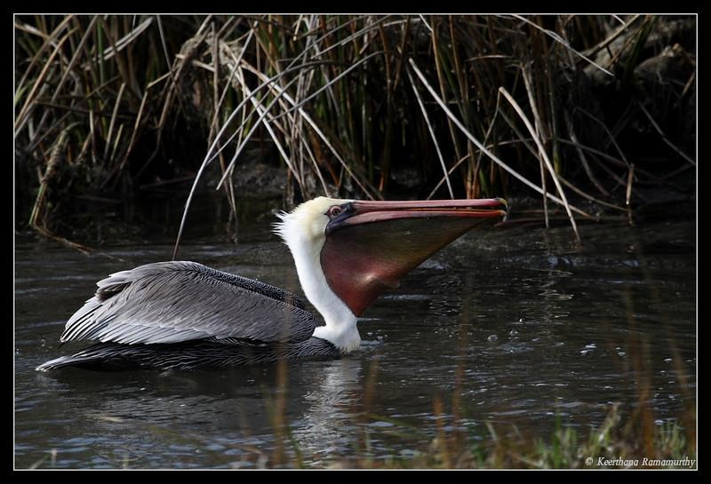 Brown Pelican Fishing, Famosa Slough, San Diego County, California, December 2008