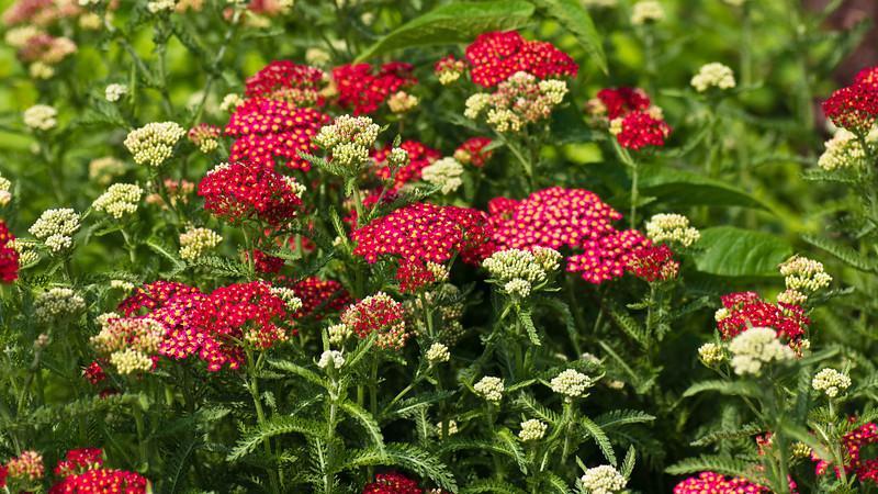 meadowlark-26_May 29, 2011.jpg