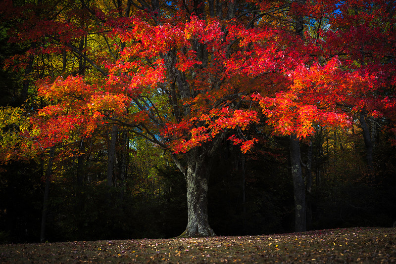 Fire Red Maple Pendleton Point Blackwater Falls .jpg