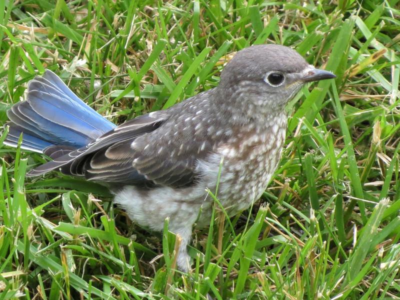 sx40_bluebird_fledgling_715.jpg