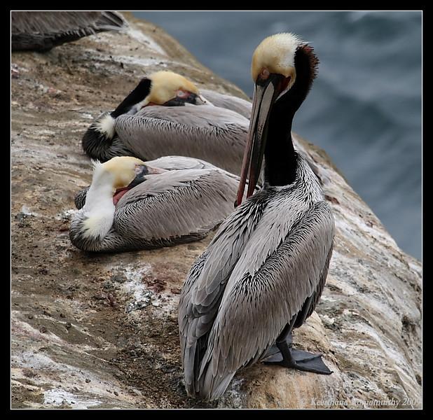 Brown Pelican, La Jolla Cove, San Diego County, California, January 2009