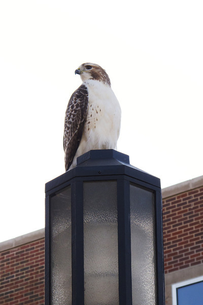 A hawk on Purdue's campus, just outside Lily.