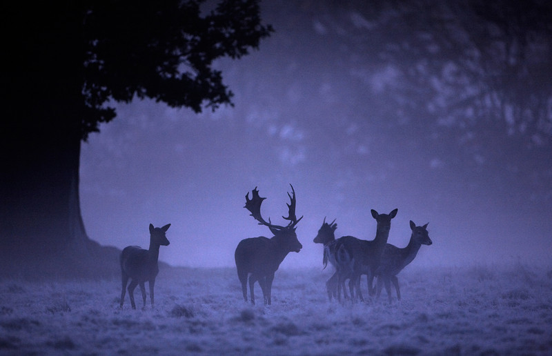 104 - Fallow Deer - 9904.jpg