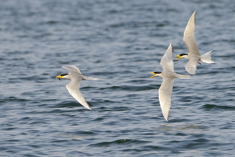 River-terns-the-chase.jpg