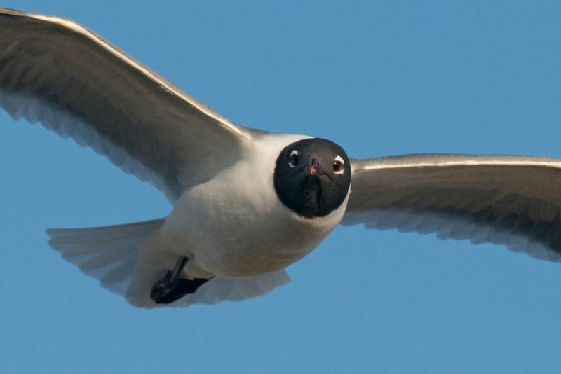 Gull - Laughing - St. George Island, FL - 01