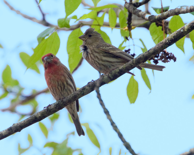 House Finch Nest Parents 4024 - Male has red coloring.
