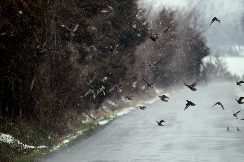 . A flock of starlings takes flight along Route 663 in Stevensburg, Va., as a steady mix of rain and snow falls Monday, March 25, 2013. (AP Photo/The Free Lance-Star, Dave Ellis)