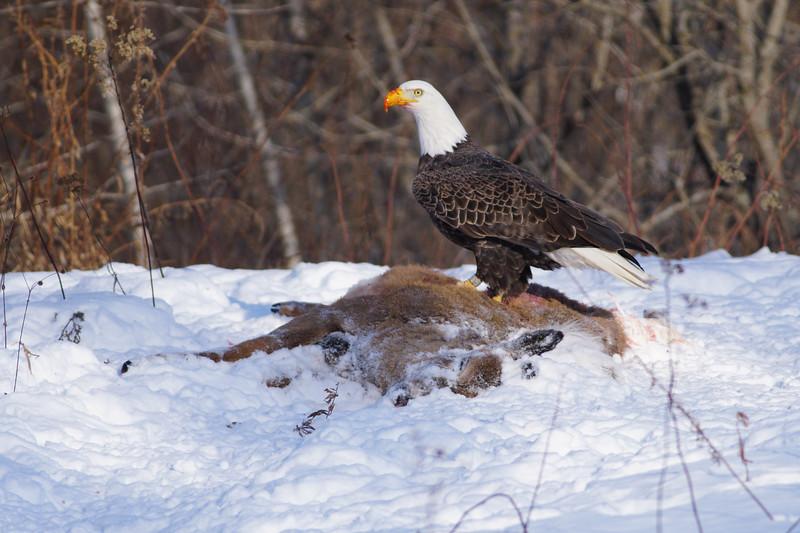 Bald Eagle on deer carcass Sax-Zim Bog MN-00860.jpg