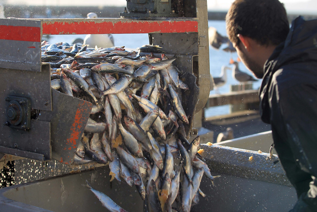 . 18-tons of herring are unloaded from Dennis Deaver\'s boat at the San Francisco Community Fishing Association dock on Pier 45 in San Francisco, Calif., on Friday, Feb. 8, 2013. Herring are making a comeback after their population declined in recent years. They are mainly harvested for their roe which is a delicacy in Japan. (Jane Tyska/Staff)