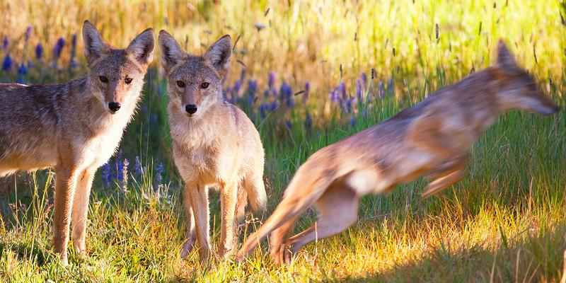Tahoe Coyote- Going, Going, Gone.jpg