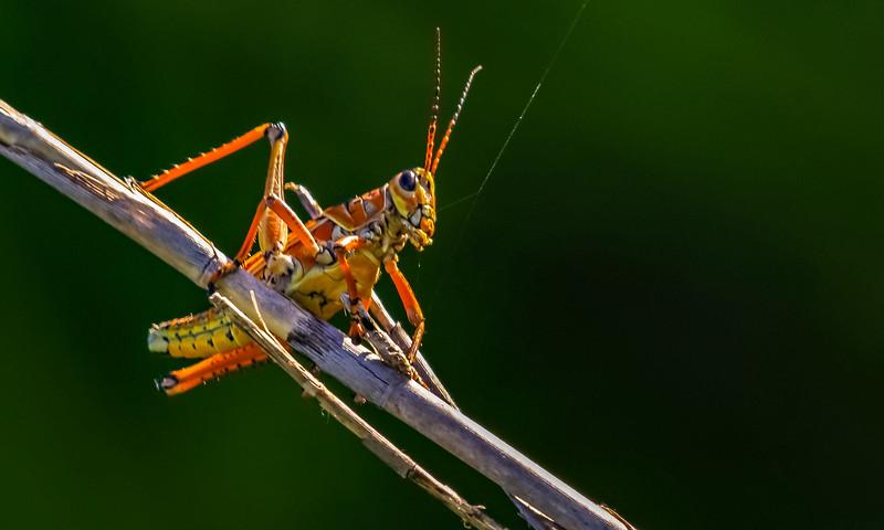 Grasshoppers 11.jpg