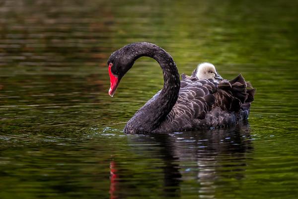 2016-10-14 Robina Black Swans & Cygnet