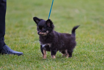 Chihuahua (Long Coat)