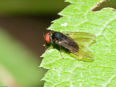 Family-Platypezidae