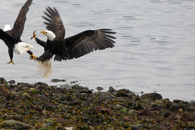 Two Bald Eagles Quarreling May 2015, Cynthia Meyer, Tenakee Springs, Alaska P1480737