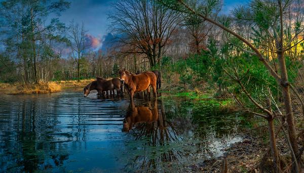 Fine Art natuur foto van een groep wilde paarden water drinkend vanuit een poel in het bos.