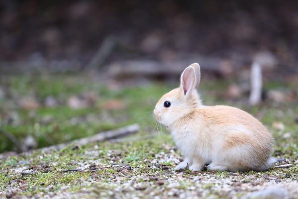 Rabbit island (Okunoshima ) うさぎ島(大久野島)