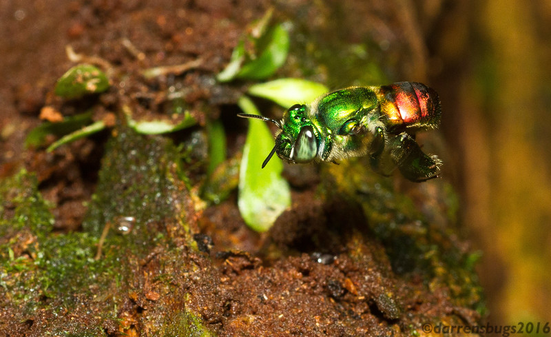 Orchid bee, Euglossa sp, from Panama.