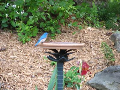 Bluebirds 2010