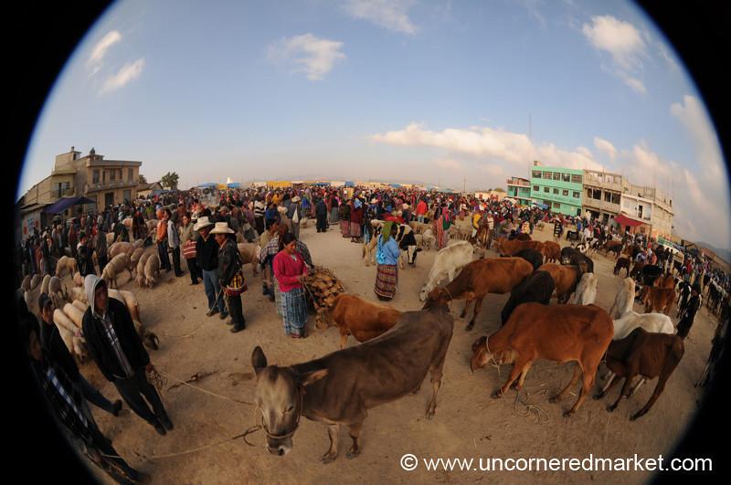 San Francisco El Alto Animal Market, Cows - Guatemala