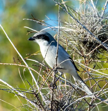 Loggerhead Shrikes, Lakes Park, Fort Myers, Florida - 12/16/17
