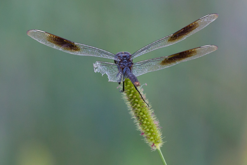 zAnahuac, card 1, 8-10-2014 336B, cropped Dragonfly (1 of 1).jpg