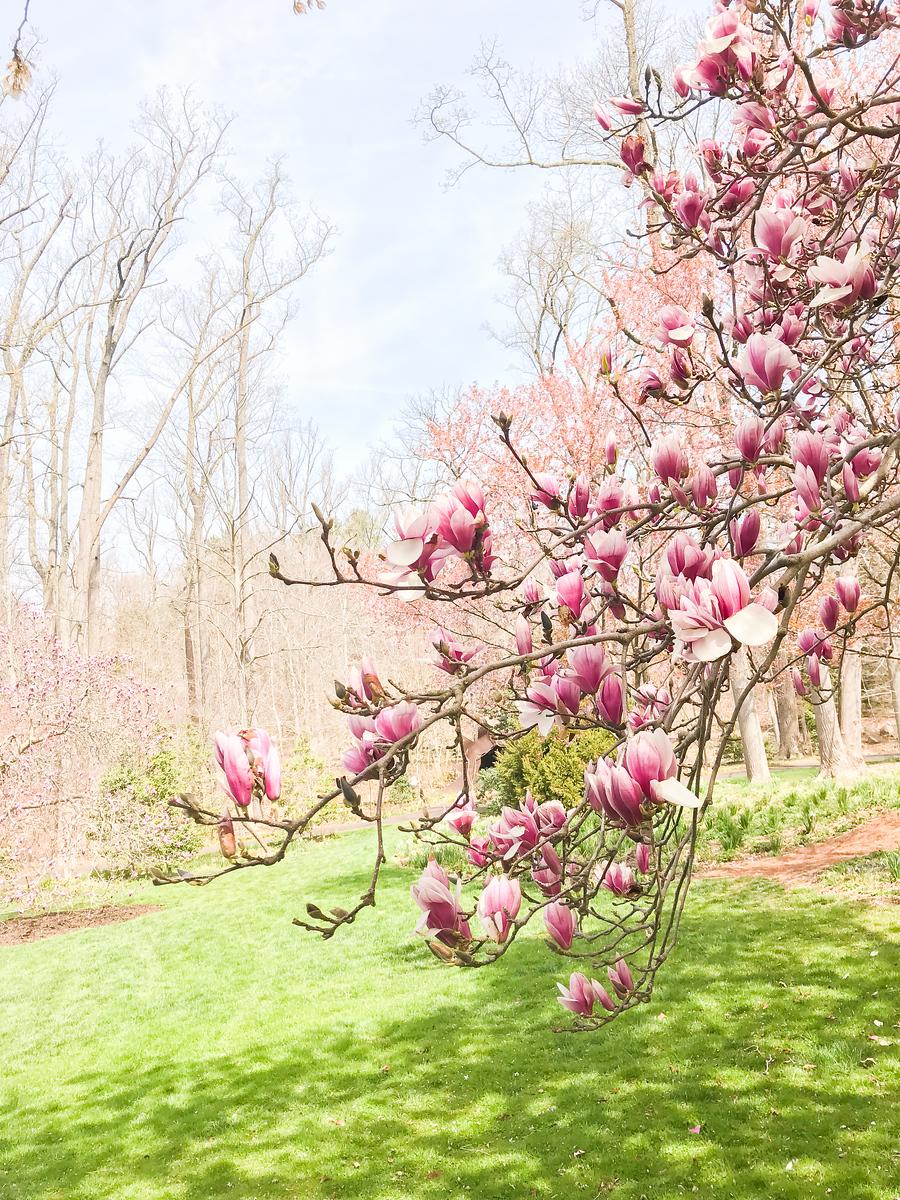 踏春归来,满树的鲜花扑面而来