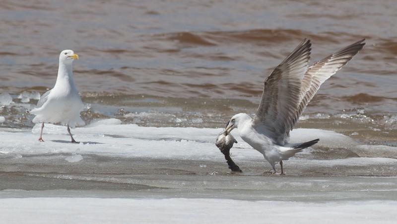 Herring Gull with dead grebe Park Point Duluth MN IMG_9192.jpg
