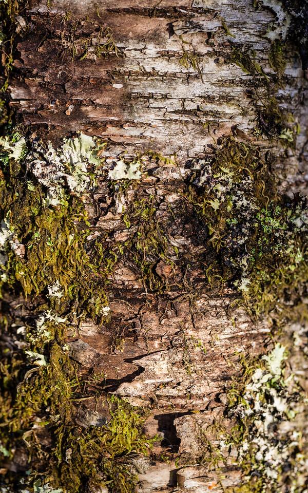 Lichen and Moss Covered Birch Bark