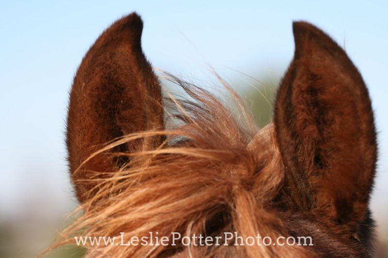 Closeup of Horse Ears