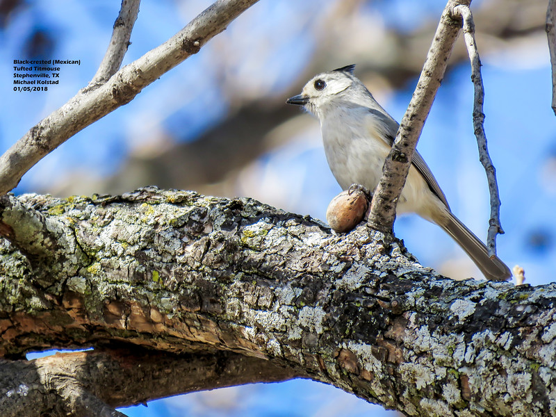 IMG_9264 3T Black-crested (Mexican) Tufted Titmouse Stephenville TX 105 1415.jpg