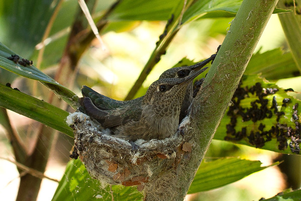 Humming Bird Fledglings 6-22-2014